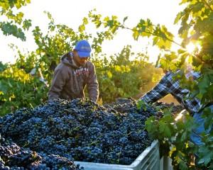 McCay, 2012 Zinfandel harvest (Truluck's Vineyard)