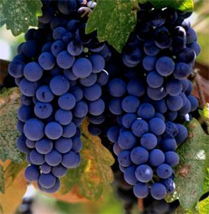 merlot grapes
