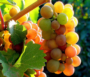 Pinot Gris or Pinot Grigio grapes